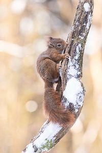 Niedliches Eichhörnchen auf verschneitem Ast
