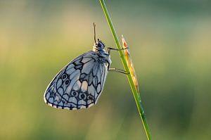 Dambordje vlinder van