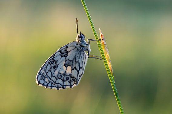 Dambordje vlinder van Hugo Meekes