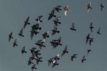 postduiven in vogelvlucht van Huib Vintges