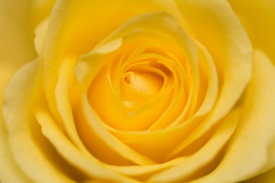 Gele Roos van Kimberly van Aalten