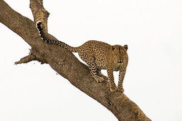 Luipaard von Antwan Janssen