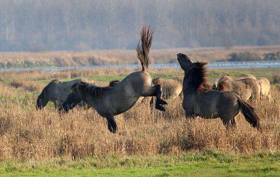 Vechtende Konik Paarden