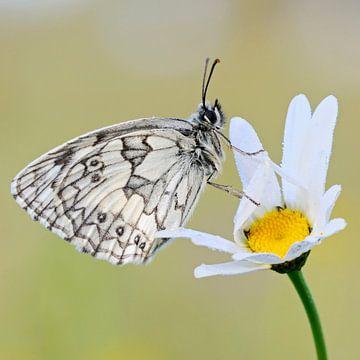 Schachbrettfalter *Melanargia galathea* auf Blüte von wunderbare Erde