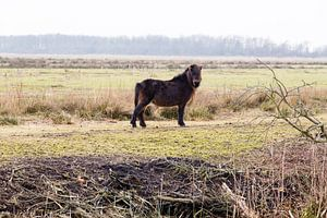Pony in het Groningse landschap