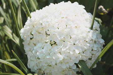 Witte Hortensia von Kim Reuvekamp