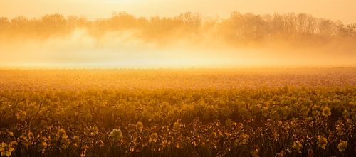 Narcissen in ochtend licht van Richard Guijt