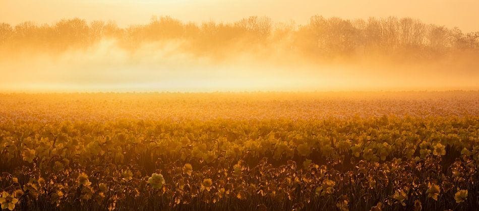 Narcissen in ochtend licht
