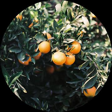 Sinaasappelen | Moody kleurrijke reisfotografie | Botanische groene muur met sinaasappelen van Raisa Zwart