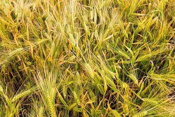 Motif de blé sur Johan Vanbockryck