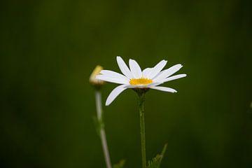Lente bloem Madelief van Photos by Francis