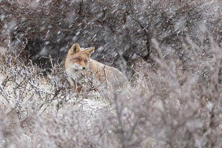 Vos in een winterlandschap
