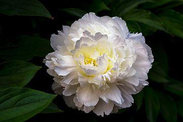 Prachtige witte Pioenroos sur Jenco van Zalk