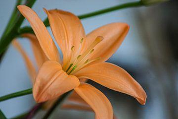 Orangenblüte von Niek Traas