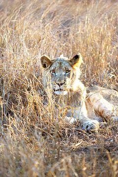 Jonge mannetjes leeuw van