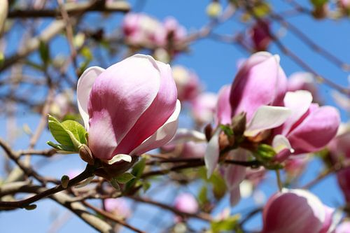 Rosa, Magnolie, Magnolien, Blüte, Blume, Blumen, Closeup
