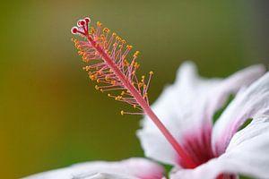 Hibiscus van Ineke Klaassen