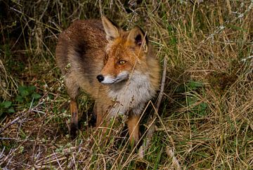 vos in de Amsterdamse waterleidingduinen van Wesley Klijnstra