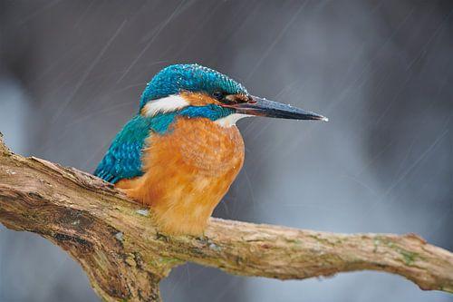 IJsvogel trotseert sneeuwstorm