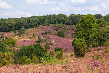 Heidelandschaft mit Heiedeblüte, Totengrund, Wilsede, Naturpark Lüneburger Heide, Niedersachsen, Deu