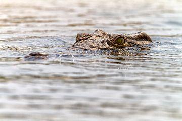 Krokodil in Zambezi van Angelika Stern