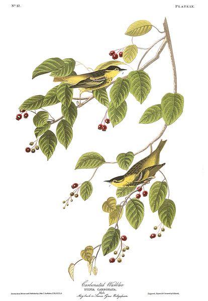Koolzaadgrasmus van Birds of America