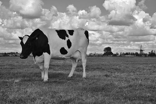 Koe in weiland met molen van