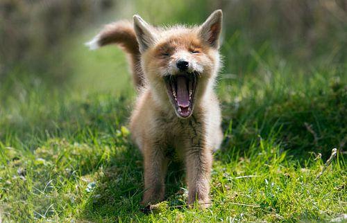 Gapende jonge vos van