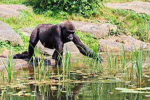Jonge Gorilla aan de waterkant