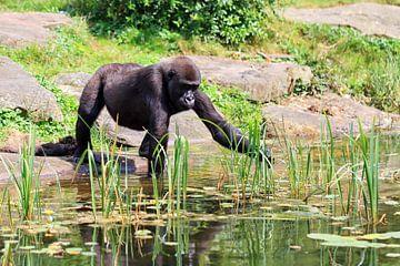 Jonge Gorilla aan de waterkant van