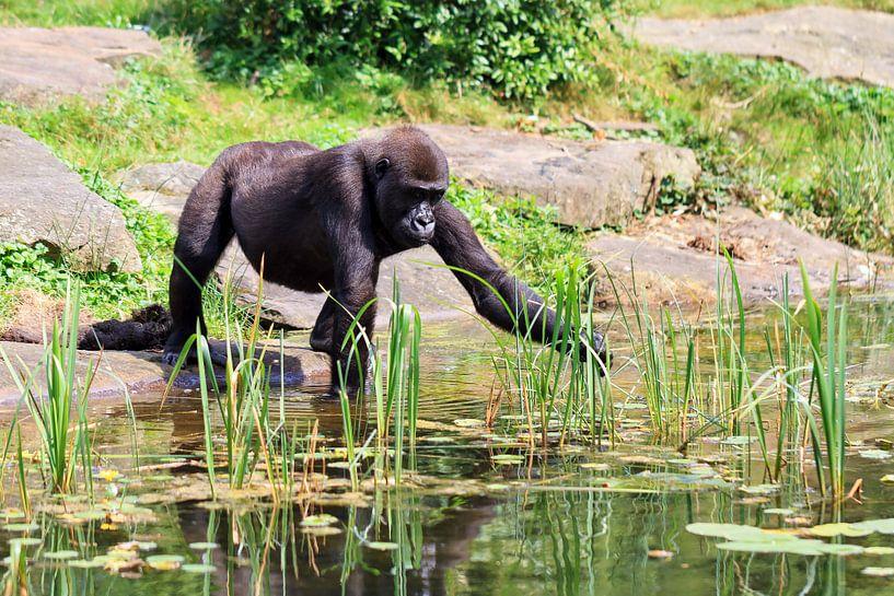 Jonge Gorilla aan de waterkant van Dennis van de Water