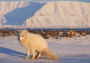 Renard polaire en manteau d'hiver