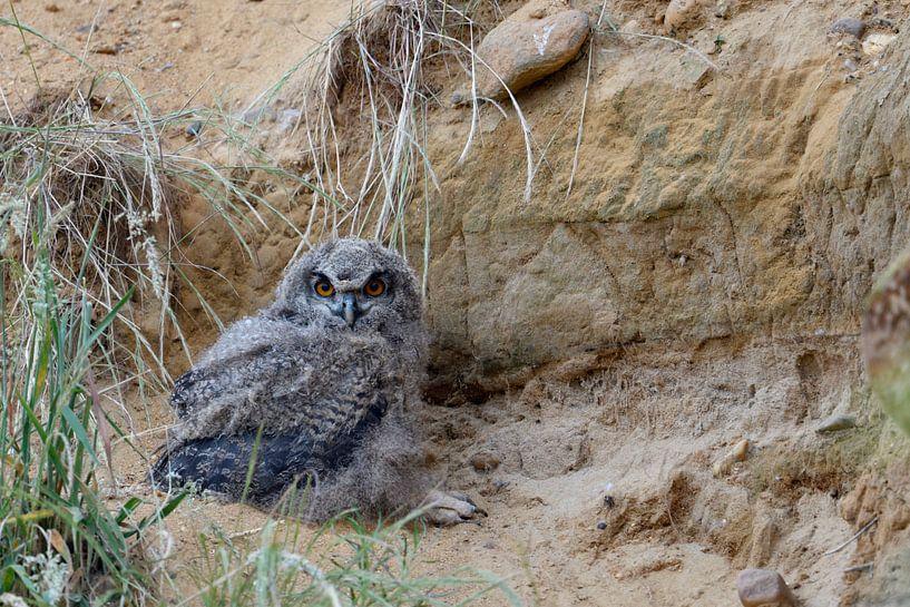 Eurasian Eagle Owl ( Bubo bubo ), fledgling van wunderbare Erde