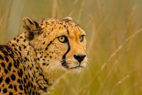 Cheeta - 2