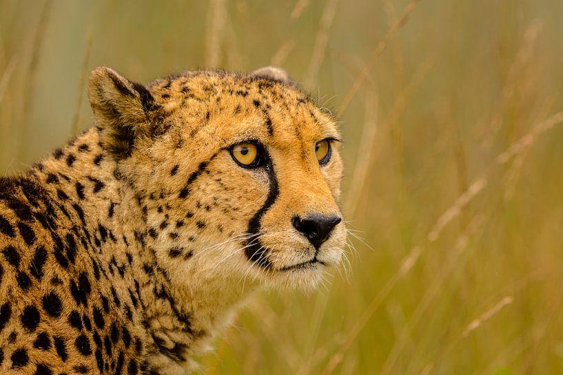 Cheeta - 2 van Richard Guijt
