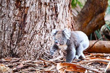 Koala bij boomverandering van Robert Styppa