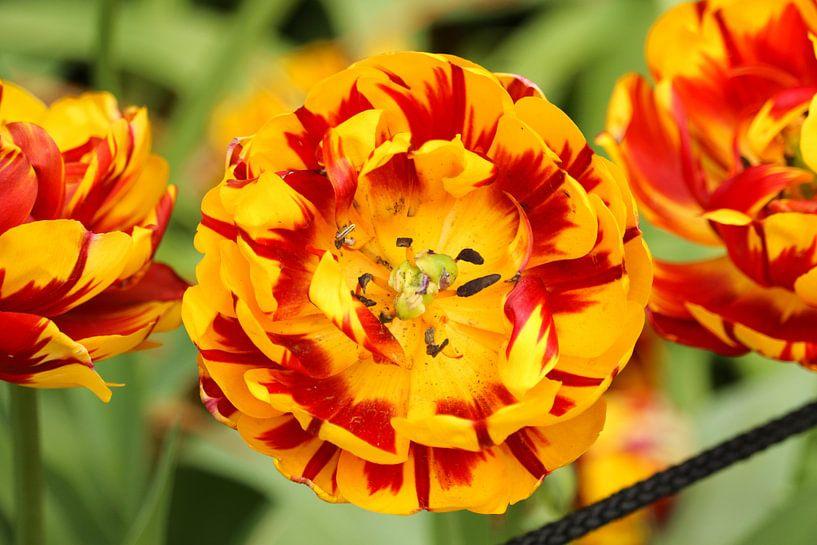 Une fleur rouge et jaune en fleur sur Jennifer Hendriks