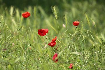 Poppy's van Marcel Hondeveld