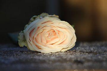 Rose auf Hagel von Martijn van Yperen