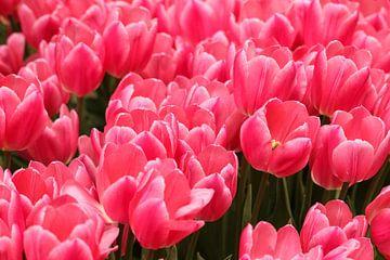 Fleurs roses dans une belle floraison