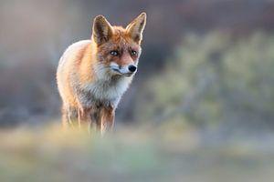 Fuchs im schönen Abendlicht von Jeroen Arts
