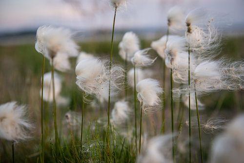 Fluffy flower - veenpluis