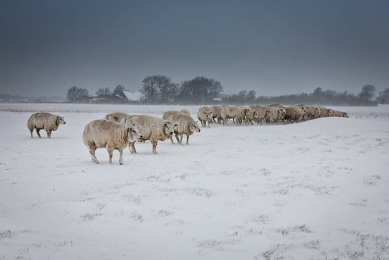 Schapen in Zeeland tijdens sneeuwstorm van Wout Kok