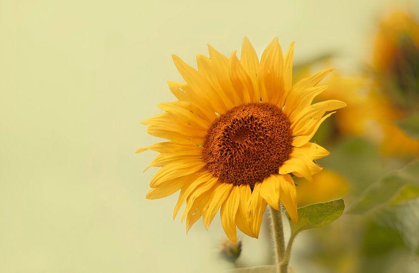 Zonnebloemen van Ellen Driesse