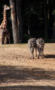 Zebra-Kekse von Erika Schouten