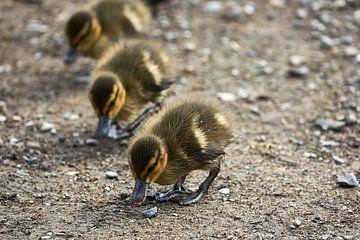 Enten in einer Reihe von Jim Allen