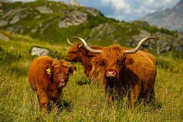 Schotse hoogland runderen met hun kleine kalfje van Leo Schindzielorz