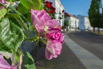 lila Hochstammrosen in der Alleestraße in Putbus auf Rügen von GH Foto & Artdesign