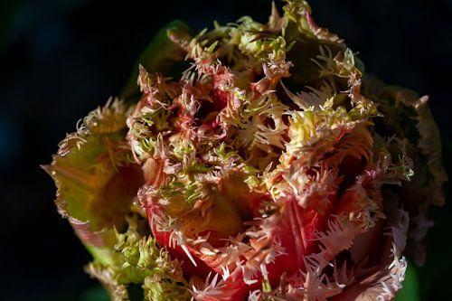 Close-up tulp