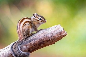 Porträt eines Eichhörnchens von Evelien Oerlemans